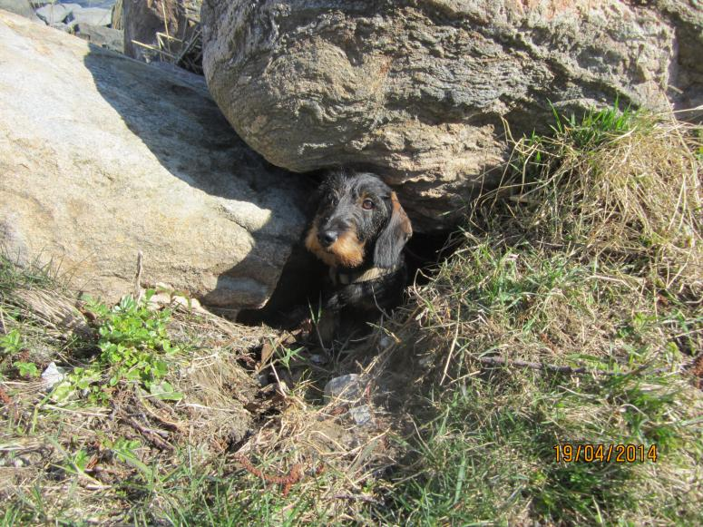 Dog comes out from a cave (between rocks)
