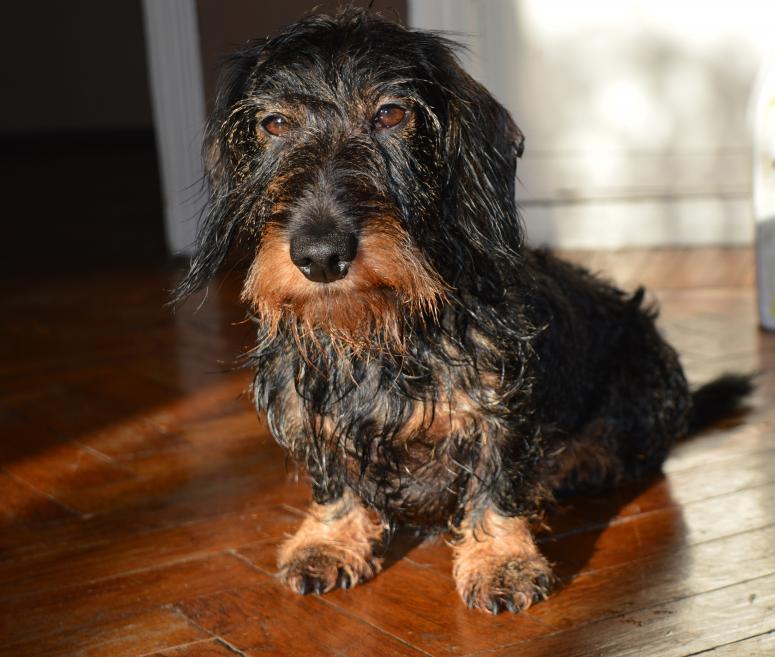 Miniature Wire Haired Dachshund - Wet Dog